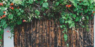 Piante-rampicanti-sempreverdi